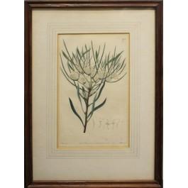 Rycina botaniczna: HAKEA microcarpa